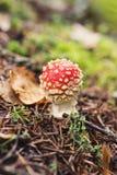 Jeunes champignons d'agaric de mouche Images libres de droits
