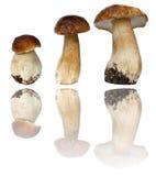 Jeunes champignons de couche de boletus Photo stock