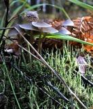 Jeunes champignons s'élevant dans les racines d'un arbre en Autumn Forest Photos libres de droits