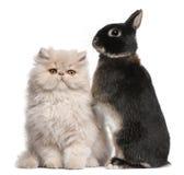Jeunes chat persan et lapin Image libre de droits