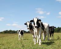 Jeunes cheptels laitiers blancs noirs timides Photos libres de droits