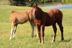 Jeunes chevaux Photos stock