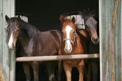 Jeunes chevaux de pur sang dans l'écurie Photos stock