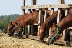 Jeunes chevaux de selle affamés mangeant le foin à la ferme Photos libres de droits