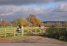 Jeunes chevaux pies dans un pré image stock