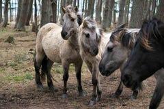 Jeunes chevaux sauvages de diverses couleurs avec le leur crinières soufflant dans le vent image libre de droits