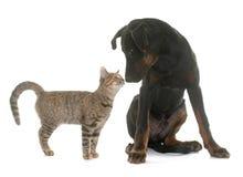 Jeunes chien et chaton de beauceron Photographie stock libre de droits