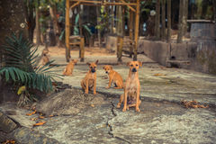 Jeunes chiens et chiots dans le coucher du soleil de village Photo stock