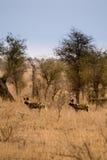 Jeunes chiens sauvages africains se tenant dans la savane, Kruger, Afrique du Sud photographie stock libre de droits