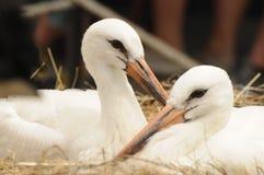 Jeunes cigognes détendant dans le nid Photographie stock