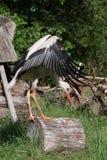 Jeunes cigognes de ballerine répandant ses ailes Image stock