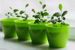 Jeunes citrons dans un pot vert Photographie stock