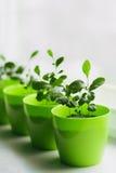 Jeunes citrons dans un pot vert Photos stock