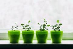 Jeunes citrons dans un pot vert Photo stock