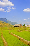 Jeunes collectes de riz avec le ciel bleu photographie stock