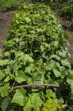 Jeunes concombres croissants verts Photos libres de droits