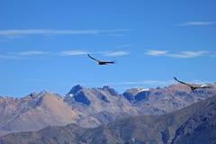 Jeunes condors masculins volant au-dessus des montagnes Photos stock