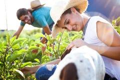 Jeunes couples d'horticulteur moissonnant les légumes frais avec la société de chien dans le jardin photographie stock