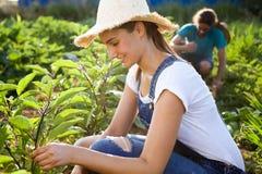 Jeunes couples d'horticulteur moissonnant les légumes frais dans le jardin photographie stock libre de droits
