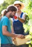 Jeunes couples d'horticulteur moissonnant les légumes frais et mettant sur un panier et sentant le tomatoe du jardin photographie stock
