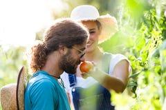 Jeunes couples d'horticulteur moissonnant les légumes frais et sentant le tomatoe du jardin photos stock