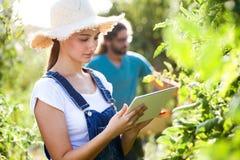 Jeunes couples d'horticulteur moissonnant les tomates fraîches et prévoyant la saison de récolte sur un comprimé numérique dans l image stock