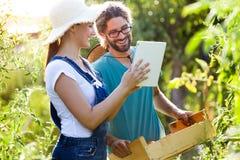 Jeunes couples d'horticulteur moissonnant les tomates fraîches et prévoyant la saison de récolte sur un comprimé numérique dans l image libre de droits