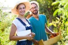Jeunes couples d'horticulteur regardant la caméra tout en moissonnant les tomates fraîches dans le jardin photo stock