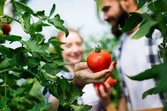 Jeunes couples des agriculteurs travaillant en serre chaude image stock