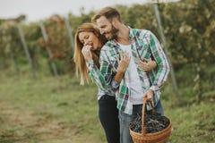 Jeunes couples moissonnant des raisins dans un vignoble photo libre de droits