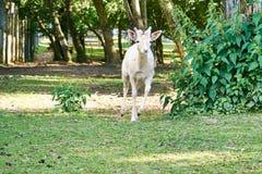 Jeunes courses de mâle de cerfs communs affrichés Photo stock