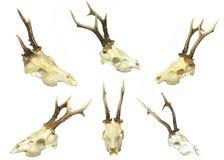Jeunes crânes de cerfs communs Photos stock