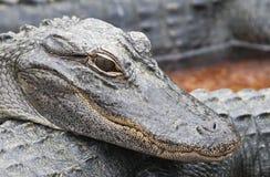 Jeunes crocodiles Photographie stock