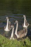 Jeunes cygnes Photo stock