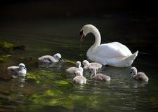 Jeunes cygnes avec le cygne de mère en rivière Avon images libres de droits