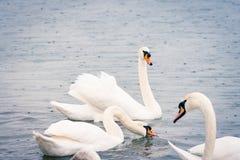 Jeunes cygnes blancs dans l'étang un jour pluvieux en premier ressort Images libres de droits