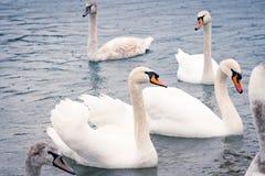 Jeunes cygnes blancs dans l'étang un jour pluvieux en premier ressort Photographie stock