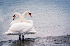 Jeunes cygnes blancs dans l'étang un jour pluvieux en premier ressort Image stock