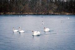 Jeunes cygnes blancs dans l'étang un jour pluvieux en premier ressort Photos libres de droits