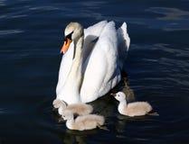 Jeunes cygnes blancs de cygne avec la mère Images libres de droits