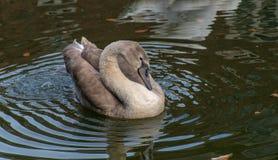 Jeunes cygnes de jeune cygne avec les plumes grises photo stock