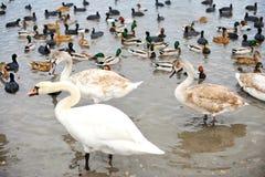 Jeunes cygnes et différentes espèces de canards sur la plage Photos stock
