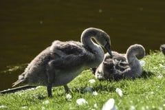 Jeunes cygnes gris sur l'herbe dans un beau jour ensoleillé Photos stock