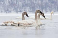 Jeunes cygnes nageant pendant l'hiver Image libre de droits