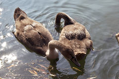 Jeunes cygnes sur le lac images stock