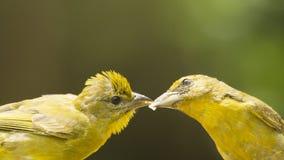 Jeunes de alimentation d'oiseau Images stock