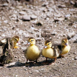 Jeunes de canards de Muscovy ceux Image stock
