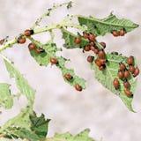 Jeunes de doryphore sur la plante de pomme de terre Decemlineata de Leptinotarsa images stock