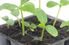Jeunes de la jeune plante d'oignon Photo libre de droits