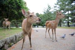 Jeunes deers Images stock